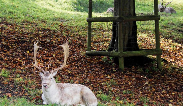 Dyrham Park's deer happily ignore all the tourists visiting them